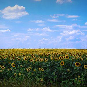 Fields of Wild Flowers…